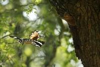 Huppe fasciée : Huppe fasciée, Upupa epops - Eurasian Hoopoe, Oiseaux cavernicole, Oiseaux bocage