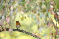 Rouge gorge : Rouge gorge, Erithacus rubecula, European Robin