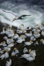 Fou de Bassan : Fou de bassan, Morus bassanus - Northern Gannet, Oiseaux pélagiques, Oiseaux des falaises