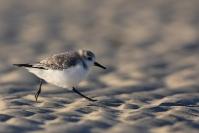Bécasseau sanderling : Oiseaux, Becasseau sanderling, Littoral, Mer