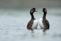 Grèbe à cou noir : Oiseaux, Grèbe à cou noir, Zone humide, Etang