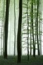 Bois de Hal : Paysage, Bois de Hal, Forêt, Hetraie, Jacinthes des bois