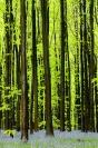 Bois de Hal - jacinthes des bois : Paysage, Bois de Hal, Forêt, Hetraie, Jacinthes des bois
