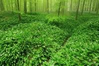 Bois de Hal - ail de l'ours : Paysage, Bois de Hal, Forêt, Ail de l'ours