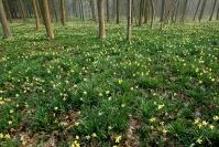 Hêtraie à jonquilles : Paysage, Forêt, Hetraie, Jonquille