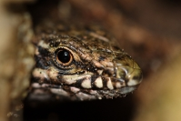 Lézard des murailles : Reptile, Lézard des murailles, Prairie, Bocage