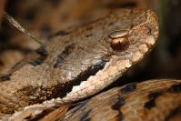 Vipère aspic : Reptile, Vipère aspic, Prairie, Bocage