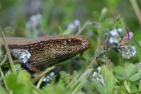 Orvet : Reptile, Orvet, Prairie, Bocage