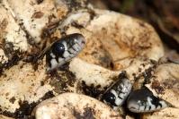Couleuvre à collier : Reptile, Couleuvre à colier, Eclosion, Prairie, Bocage