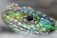 Lézard vert : Reptile, Lézard vert, Prairie, Bocage