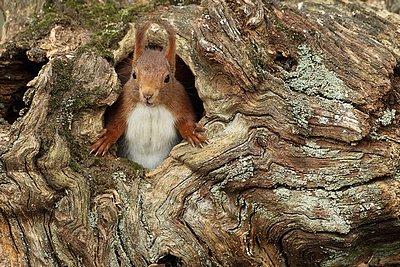 ecureuil souche