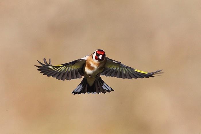 Chardonneret l gant christophe salin photographe for Oiseaux des jardins en hiver