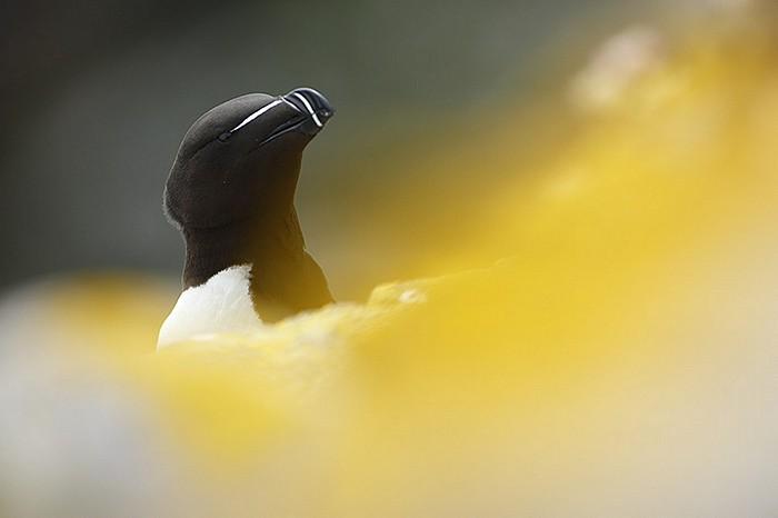 Pingouin torda 1
