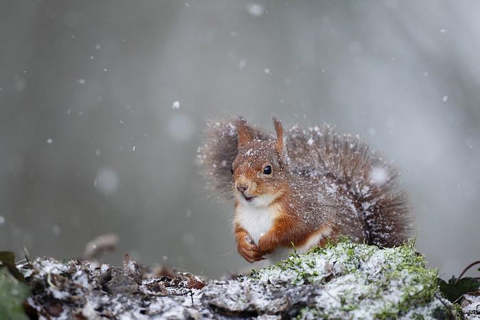 ecureuil roux neige