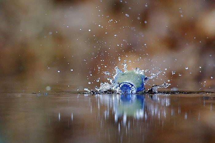 mesange bleue7