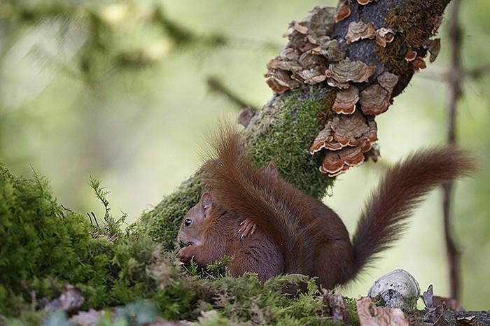 ecureuil roux accouplement
