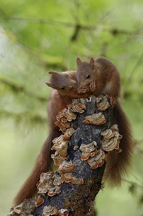 ecureuil roux duo
