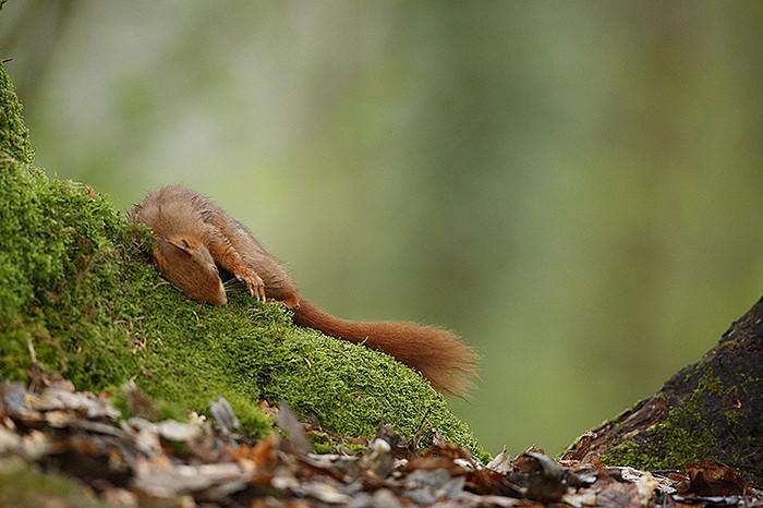 ecureuil roux 5