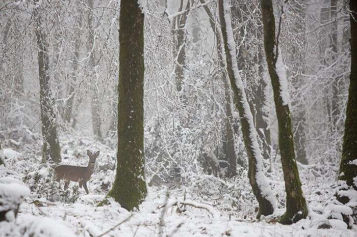 chevreuil neige1