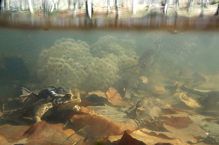 grenouille rousse crapaud commun