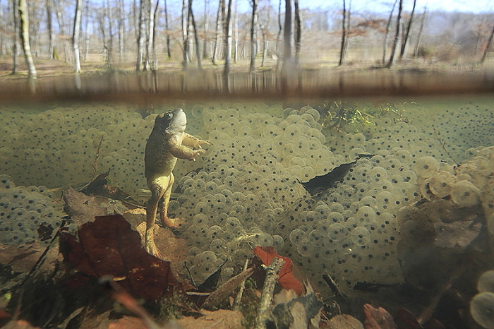 grenouille rousse morte