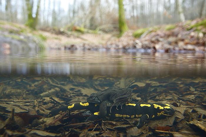 salamandre grenouille rousse 1