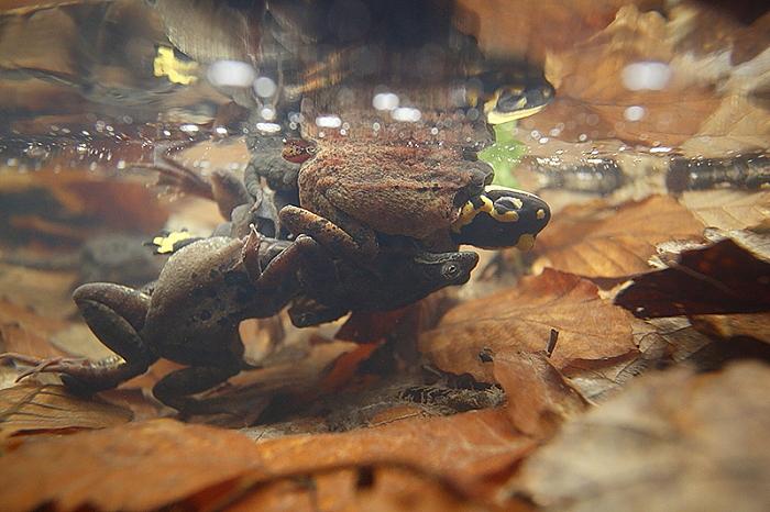 salamandre grenouille rousse