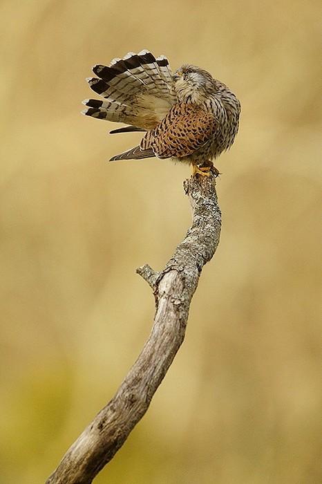 Faucon crecerelle 5