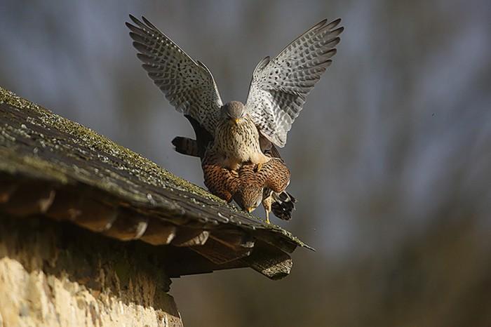 Faucon crecerelle 6