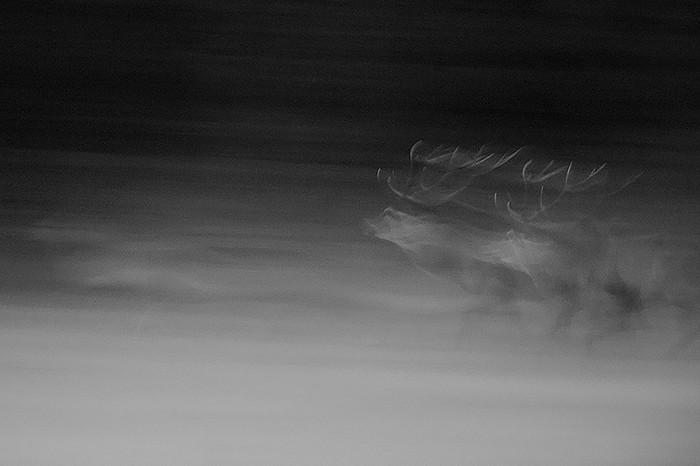 cerf fantome