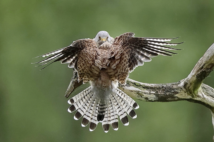 Faucon crecerelle 11