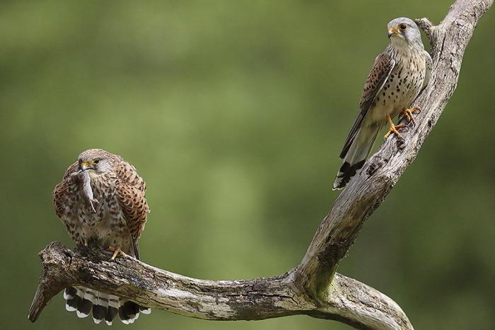 Faucon crecerelle 8