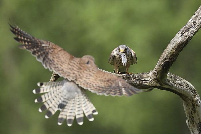Faucon crecerelle 9