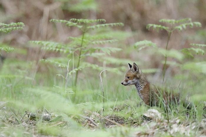 renard roux 1