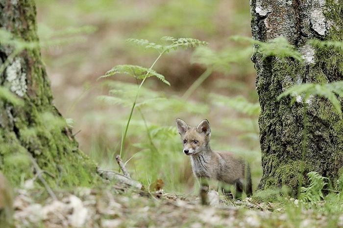 renard roux 2