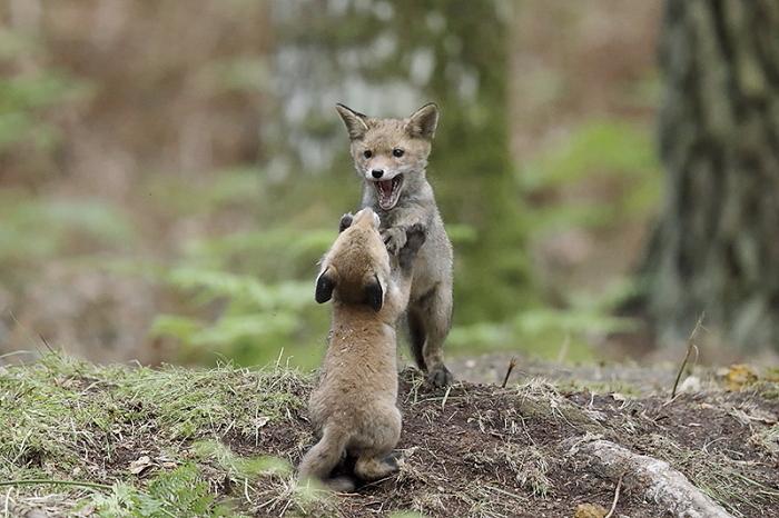 renard roux 3
