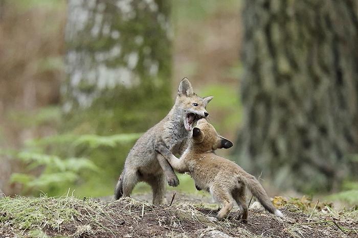 renard roux 4