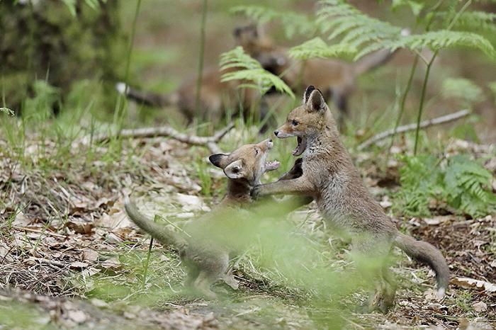 renard roux 5