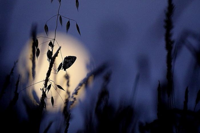 papillon clair de lune