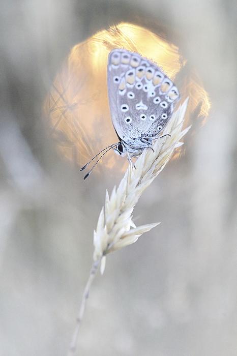papillon clair de lune2