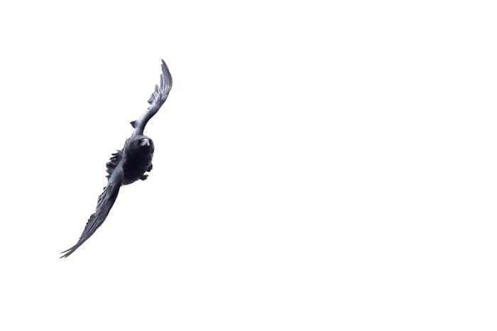 Grand corbeau 1