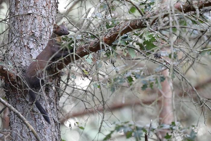 Martre des pins 2