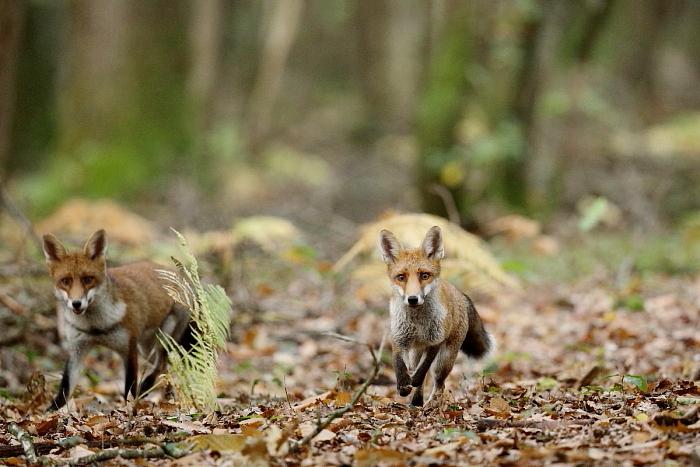 le renard et la gale