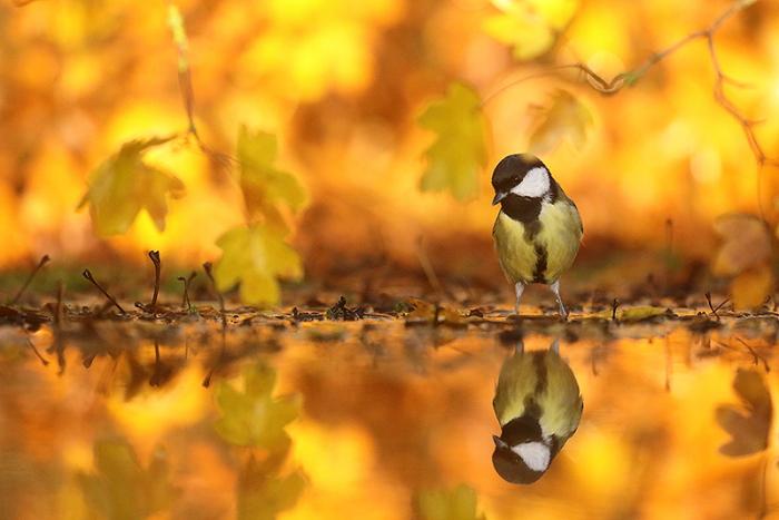 mesange automne