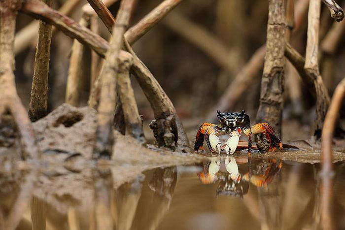 mangrove crabe 3