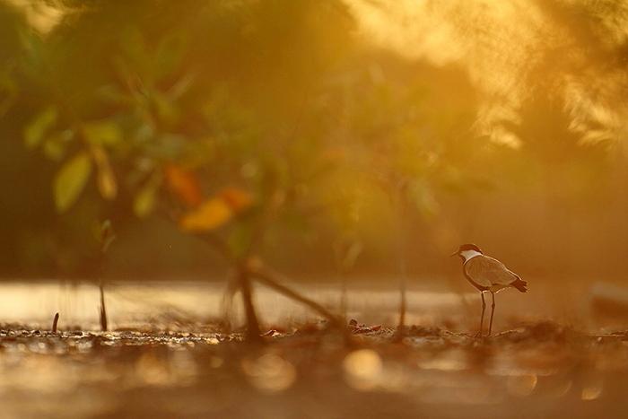 mangrove vanneau 5