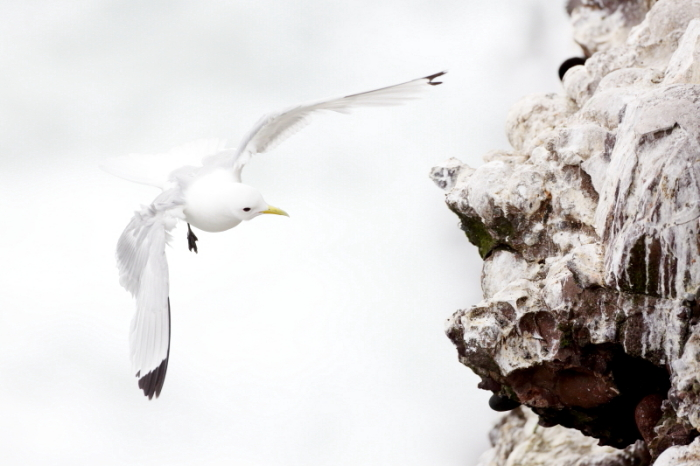 mouette tridactyle 1