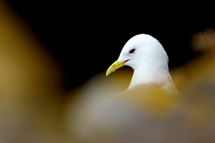 mouette tridactyle 2