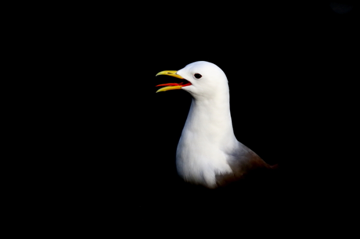 mouette tridactyle 3